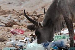 Zebu feeding with garbages Royalty Free Stock Photos