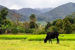 Zebu in a field in Masoala Royalty Free Stock Image