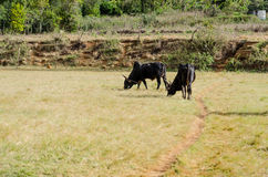 Zebu grazing in Madagascar Stock Photo