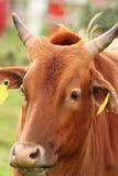 Zebu head closeup Stock Photos