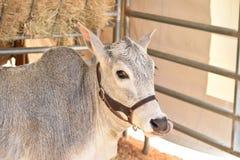 African Zebu Cow Royalty Free Stock Image