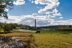 Zebu i risfältfält Fotografering för Bildbyråer