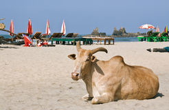 Zebu (Indian humped ox) is laying on the beach Royalty Free Stock Image