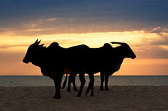 Zebu (Indian humped ox) are standing on the beach Royalty Free Stock Images