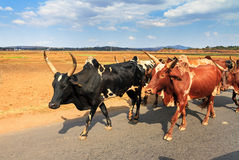 Zebu on the move Stock Image