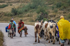 Zebu on the move Stock Images