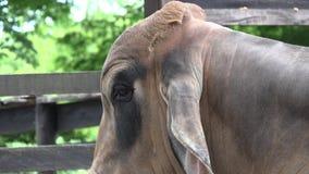 Zebu nötkreatur, kor, tjurar, lantgårddjur stock video