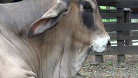 Zebu nötkreatur, kor, tjurar, lantgårddjur lager videofilmer