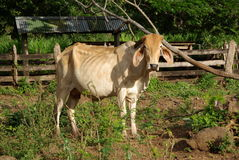 Zebu in Nicaragua Lizenzfreie Stockbilder