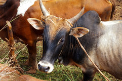 Zebu's head Royalty Free Stock Image