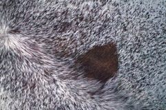 Zebu silver cowhide leather and hair details. Calgary, Alberta, Canada royalty free stock photography