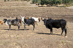 Zebu type or humped cattle in Ethiopia. Stock Photo
