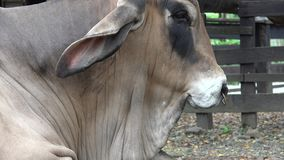 Zebu, Vieh, Kühe, Stiere, Vieh stock video footage