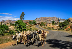 Zebu walking on the road Royalty Free Stock Photo