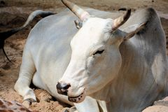 Zebu Royalty Free Stock Image
