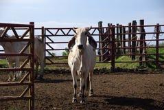 Zebus in Costa Rica Stockbilder