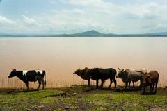 Zebus und Kühe nähern sich Wolkite, Äthiopien Lizenzfreie Stockfotos