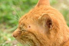 Zecke, die oben auf Katze, Abschluss einzieht lizenzfreies stockfoto