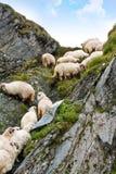 zeckel delle pecore Fotografia Stock Libera da Diritti