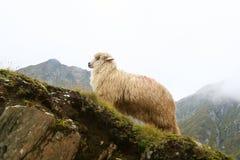 Zeckel sheep Royalty Free Stock Photos