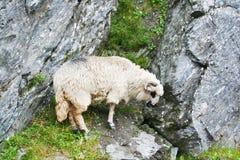 Zeckel sheep Stock Image