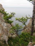 Zeder auf Baikal-Hintergrund Lizenzfreie Stockbilder