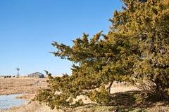 Zeder-Baum auf einer Grasland-Ranch Lizenzfreie Stockbilder