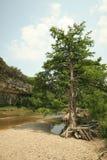 Zeder-Baum auf Guadalupe-Fluss stockbild