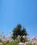 Zeder hinter rosafarbenen Blumen Stockbild
