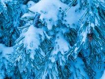 Zeder im Winter mit Schnee und Eis Stockbilder