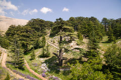 Zeder-Wald Stockbild