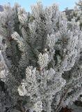Zeder-Zweige im Frost und im Sn Lizenzfreie Stockfotos
