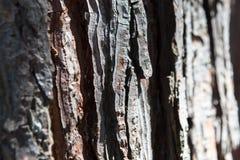 Zedernahornfichte der alten Kiefer des Kiefernbarkenbeschaffenheitshintergrundes alte Stockfoto