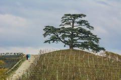 Zedernbaum vom Libanon Ein weltlicher Baum, Symbol von La Morra Stockfotografie