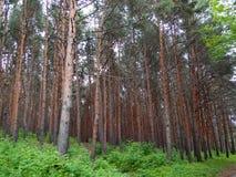 Zedernwaldung lizenzfreie stockbilder