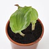Zedoaria fresca (kenchur) Fotografia Stock