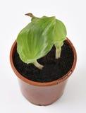 Zedoaria fresca (kenchur) Fotografie Stock