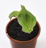 Zedoaria fresca (kenchur) Immagine Stock
