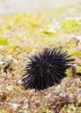 Zeeëgel op een rots door het overzees stock foto