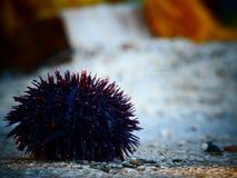 Zeeëgel op een steen tijdens recente middag stock fotografie