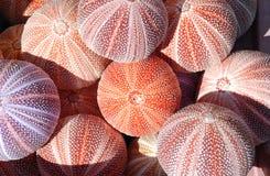 Zeeëgels stock afbeelding