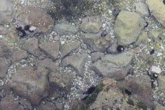 Zeeëgels op de bodem van het Adriatische overzees in Kroatië stock foto