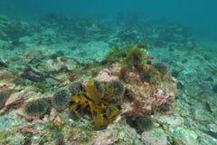Zeeëgels op rotsachtige bodem stock foto