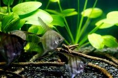 Zeeëngel in aquarium royalty-vrije stock afbeelding