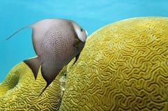 Zeeëngel en hersenenkoraal Stock Foto