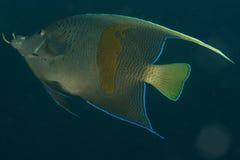 Zeeëngel (maculosus Pomacanthus) stock afbeelding