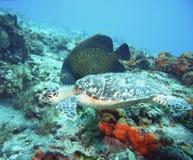 Zeeëngel met schildpad Stock Afbeeldingen