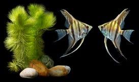Zeeëngel Pterophyllum scalare Stock Afbeeldingen