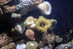 Zeeanemonen    Stock Afbeelding