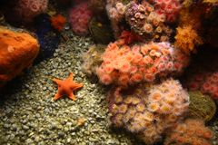 Zeeanemonen en zeester Stock Afbeelding
